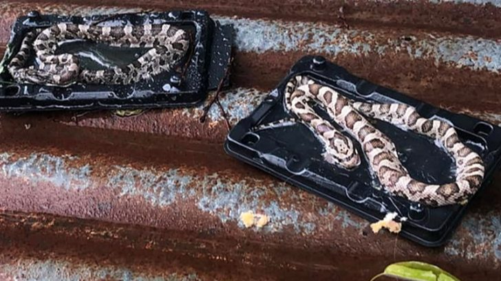 Texas family finds snakes caught in mouse trap – Country